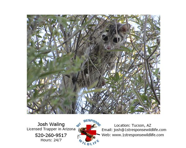 Tucson wildlife animal removal relocation ringtail for Az game and fish phone number