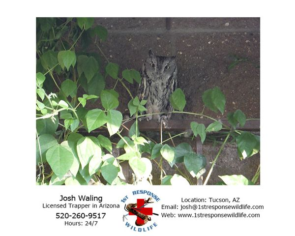 Tucson 1st response wildlife western screech owl 1st for Az game and fish phone number