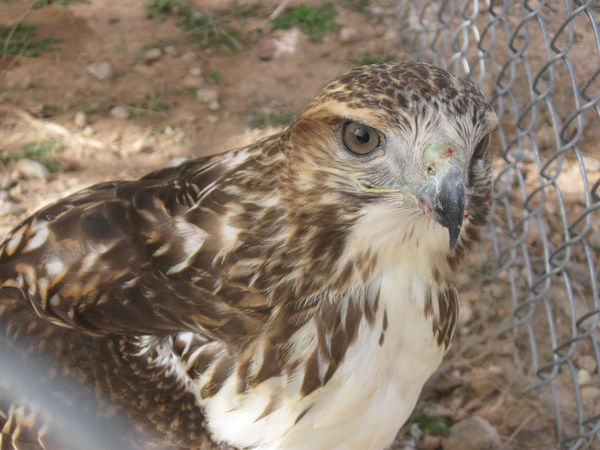 Tucson 1st response wildlife 39 s 3 most encountered hawks of for Az game and fish phone number