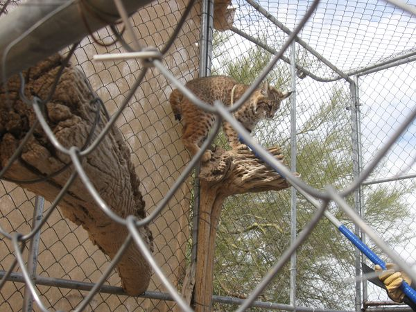 Humane bobcat release by 1st response wildlife from rehab for Az game and fish phone number