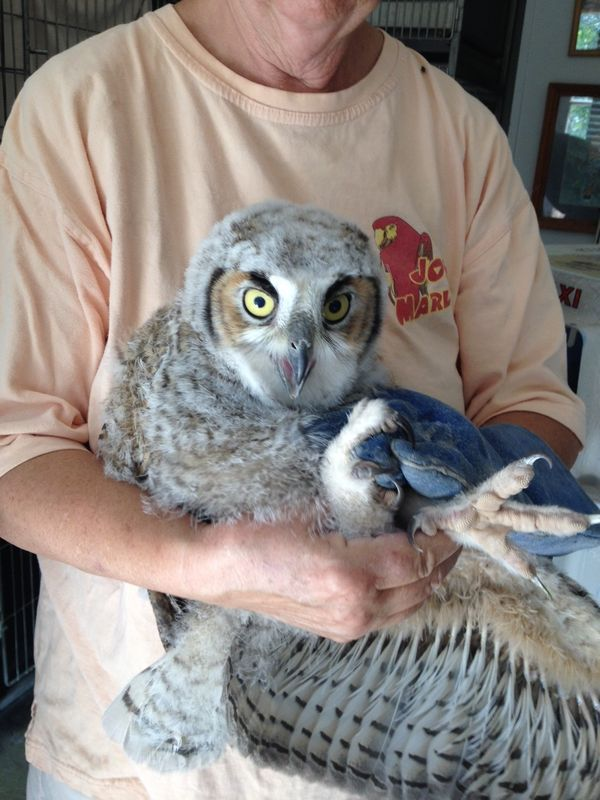 Rescuing juvenile owls in greater tucson 1st response for Az game and fish phone number