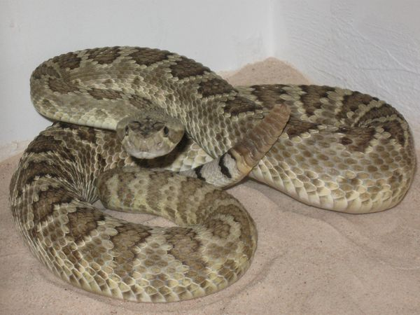 Rattlesnakes on your property call 1st response wildlife for Az game and fish phone number