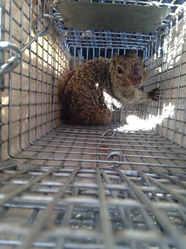 Rock squirrel damage and disease exposed by 1st response for Az game and fish phone number