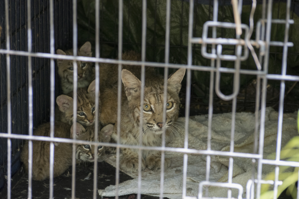 Rare photos and video of humane bobcat family relocation for Az game and fish phone number