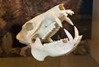 Javelina skull showing tusks