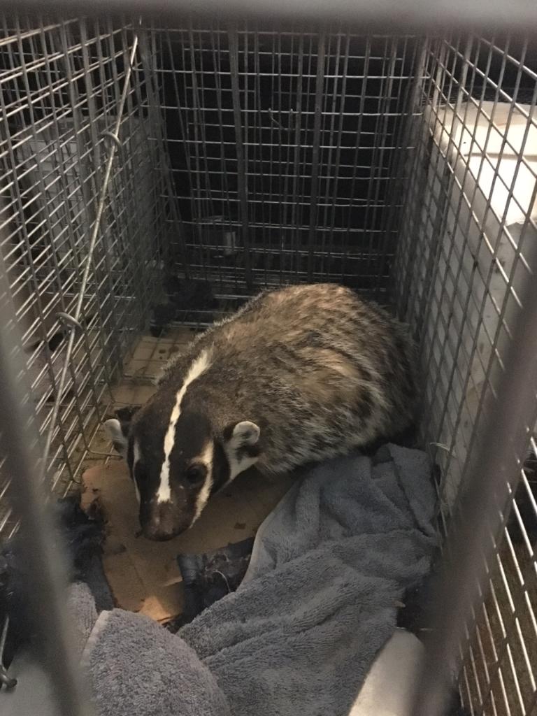 Badger night caught