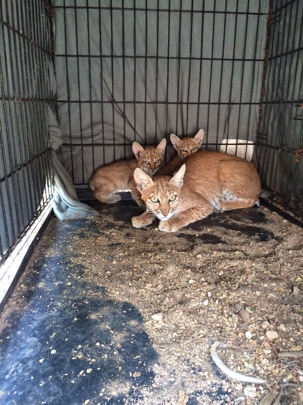 Cats on a hot tan roof captured and returned to the wild for Az game and fish phone number