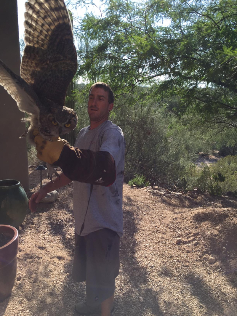 Great Horned Owl held with raptor gloves ready to be released