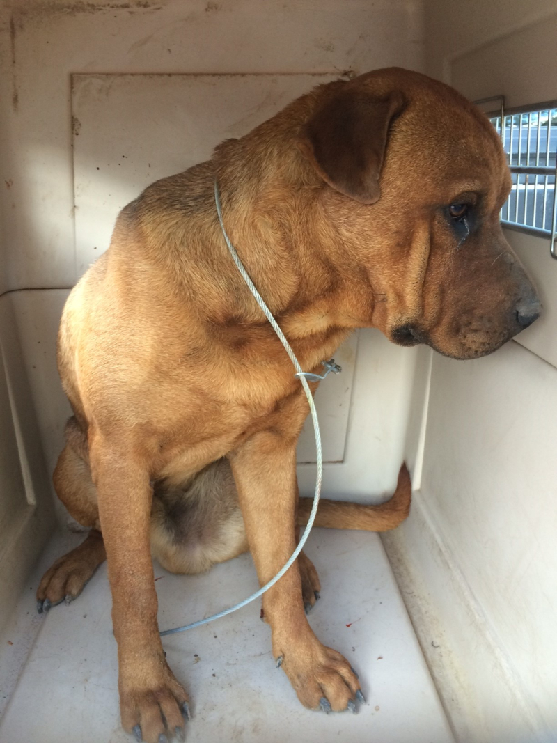 Stray dog safely loaded into transfer carrier
